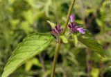 Clinopodium chinense