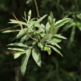 Salix viminalis