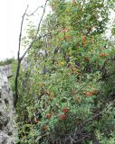 Lonicera microphylla