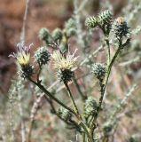 Cousinia turkmenorum