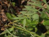 Astragalus macropus