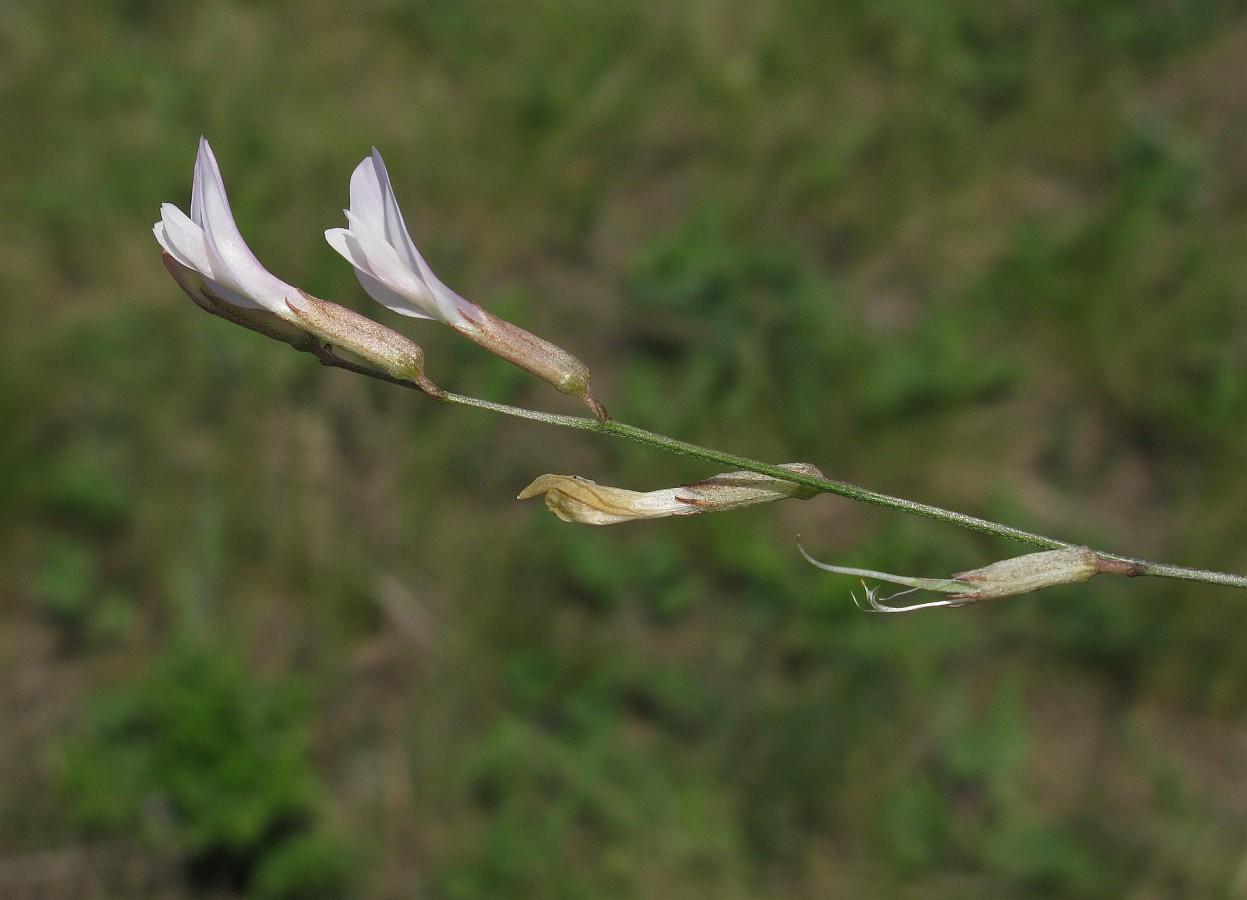 Изображение растения Astragalus ucrainicus.