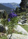 Aconitum napellus ssp. vulgare