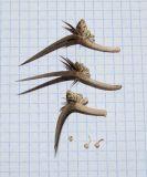 Exoacantha heterophylla