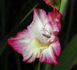 Gladiolus × gandavensis