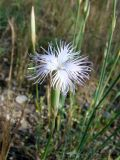 Dianthus tetralepis