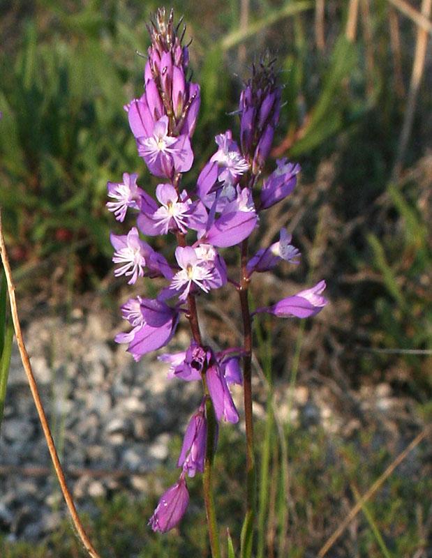 Изображение растения Polygala cretacea.