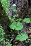 Valeriana alliariifolia