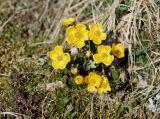 Ranunculus sulphureus