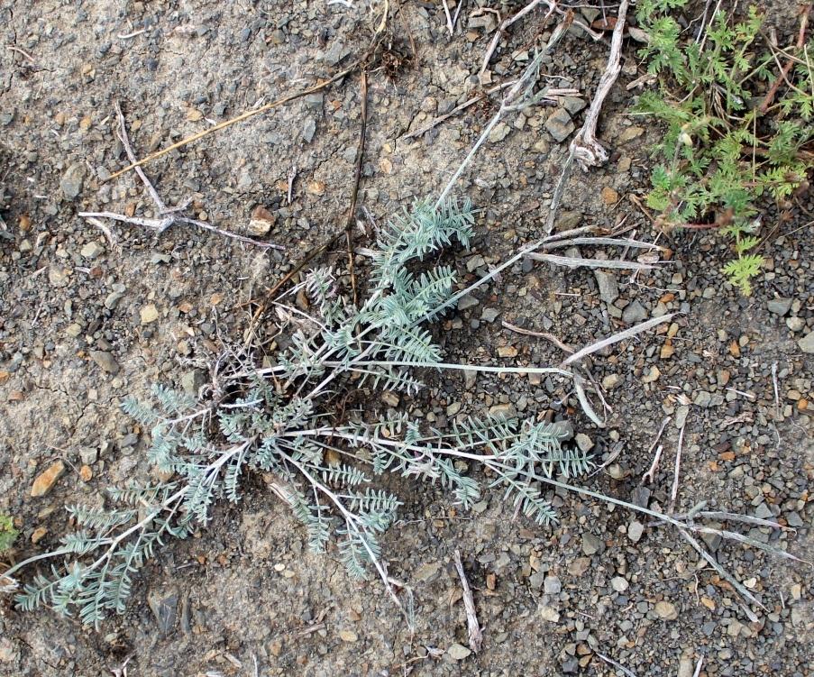 Изображение растения Astragalus sumbari.