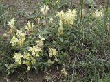 Scutellaria polyodon