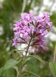 Buddlejaceae