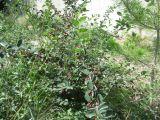 Cotoneaster alaunicus