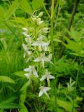 Platanthera metabifolia
