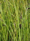 Carex kryloviana