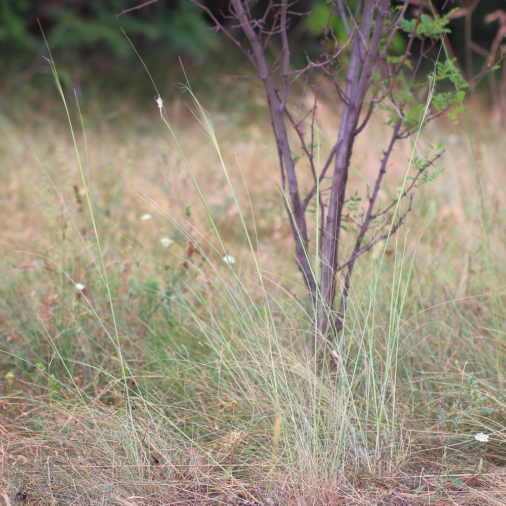 Ковыль волосатик (Stipa capillata)