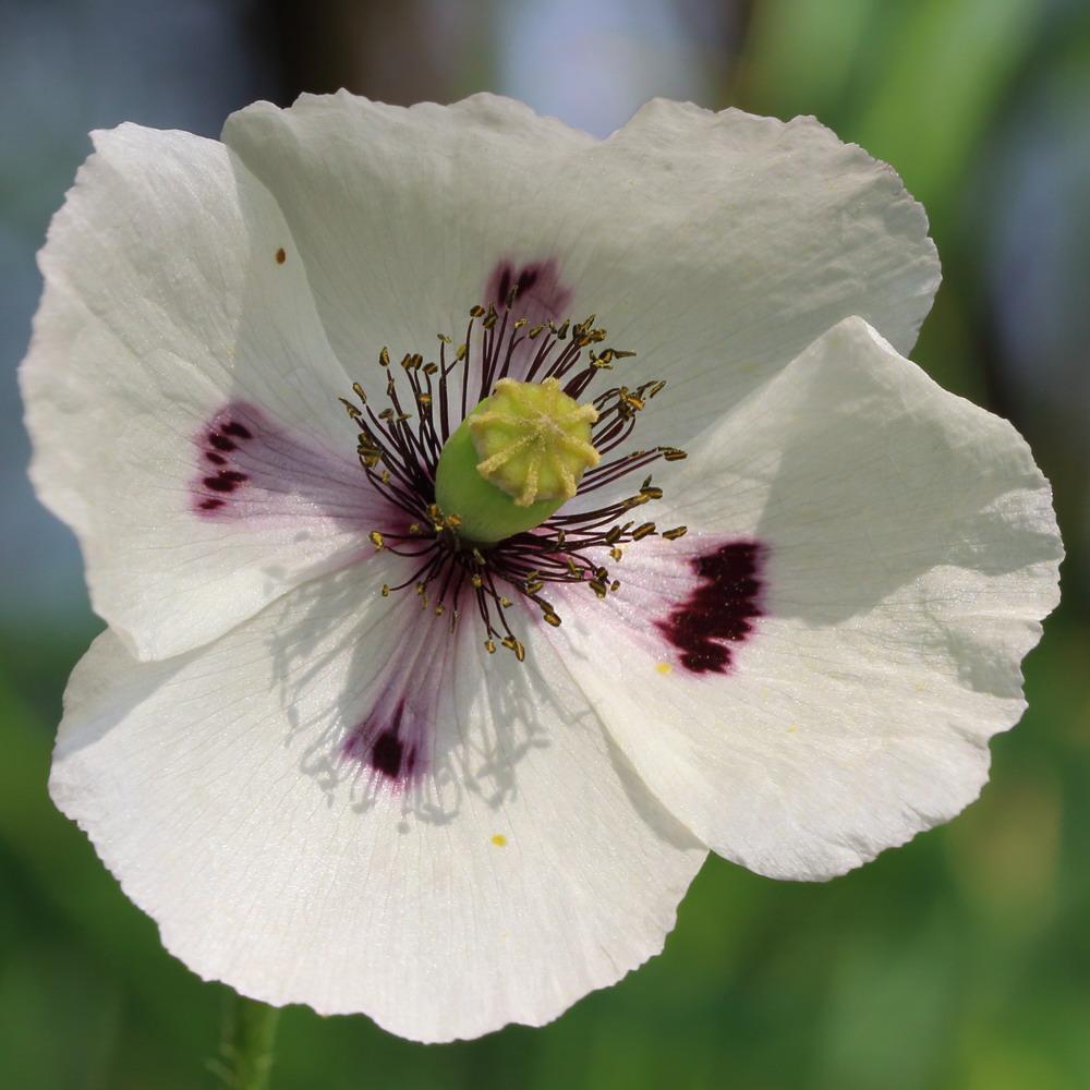 Мак белоцветковый (Papaver albiflorum)