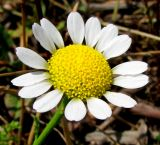 Anthemis dumetorum