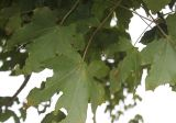 Acer × zoeschense