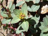 Euphorbia monocyathium