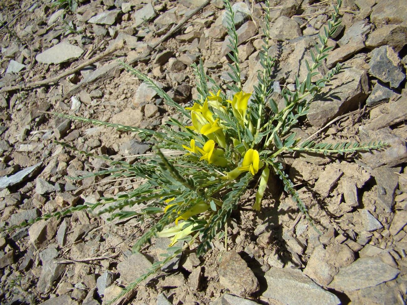 Изображение растения Astragalus talassicus.
