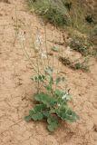 Hedysarum iomuticum
