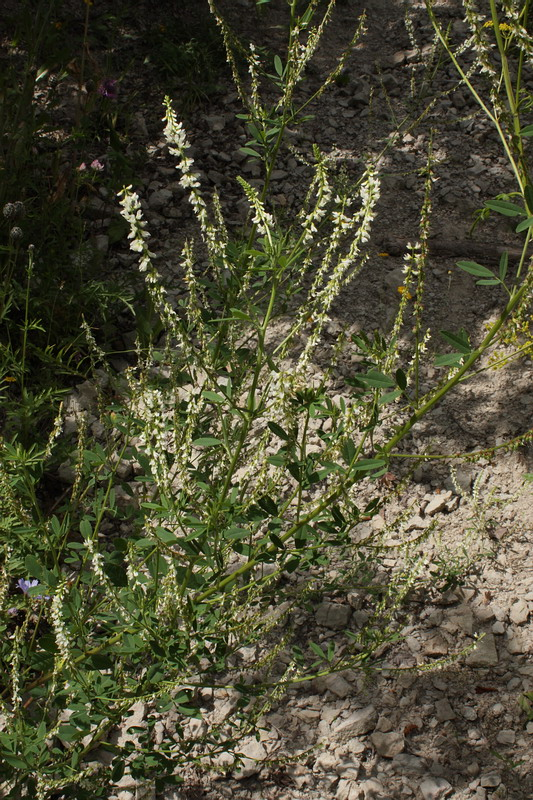 Цветущее растение на осыпи санкт