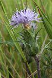 Carduncellus monspelliensium