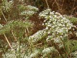 Falcaria vulgaris