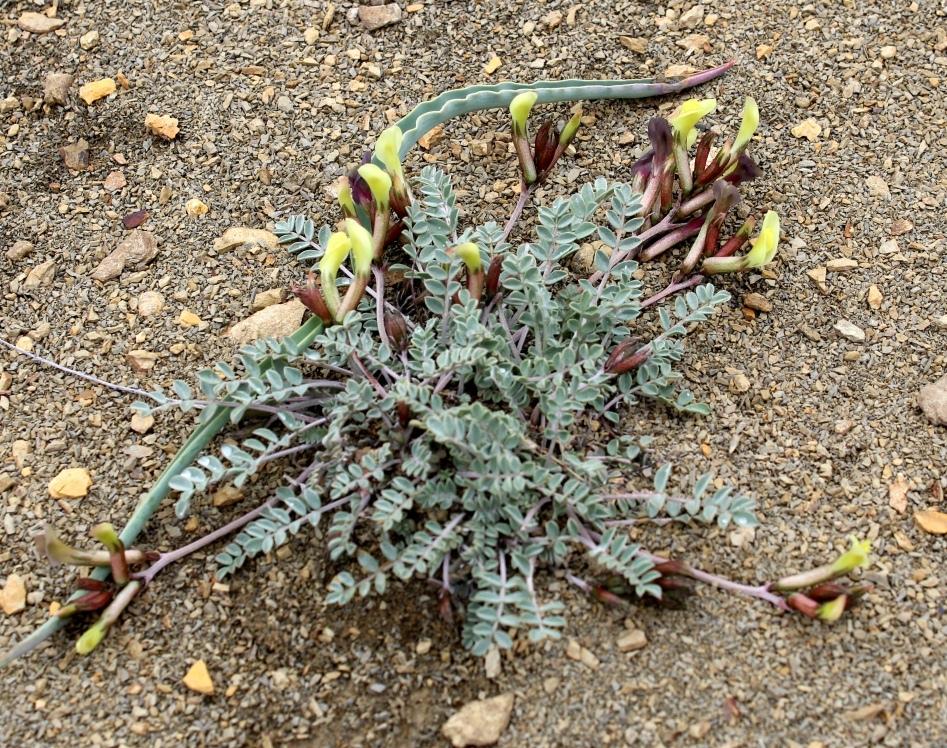 Изображение растения Astragalus velatus.
