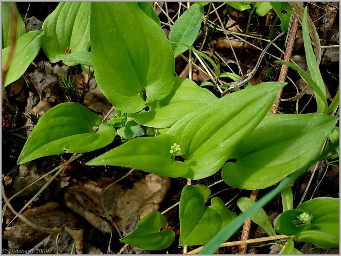 Майник двулистный (Maianthemum bifolium) Автор фото: Сергей Апполонов