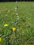 Spiranthes spiralis