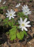 Anemonoides altaica