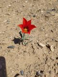 Tulipa korolkowii