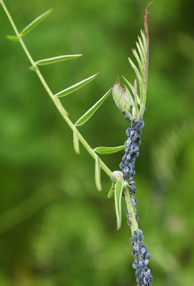 Image of Vicia cracca individual.