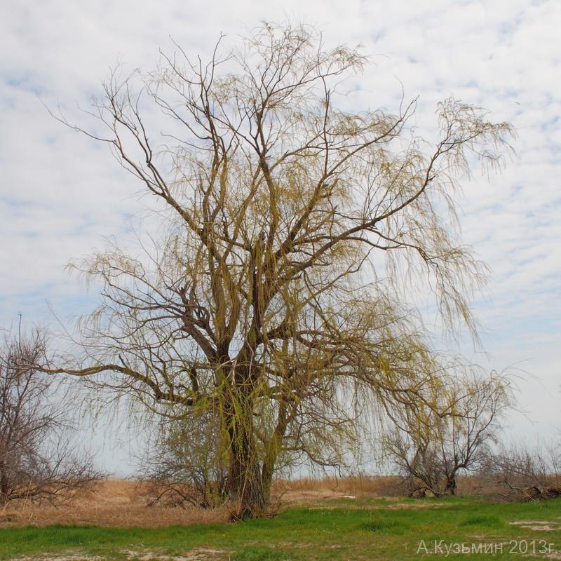 Ива золотистоволосистая (Salix × sepulcralis)