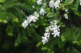 Exochorda tianschanica