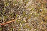 Eriophorum brachyantherum