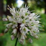Allium ochotense