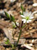 Stellaria fennica