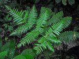 Tectaria leuzeana