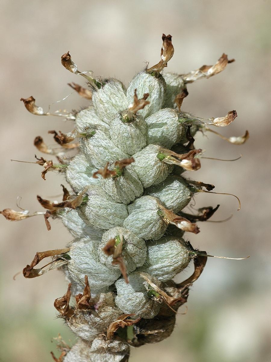 Изображение растения Astragalus kirilovii.