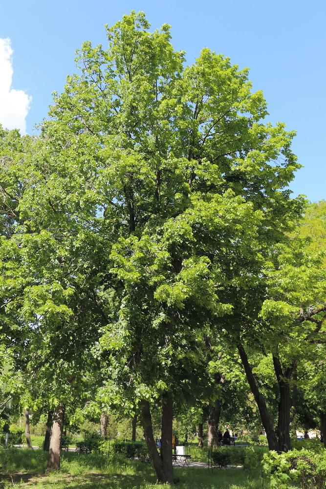 Липа американская (Tilia americana)
