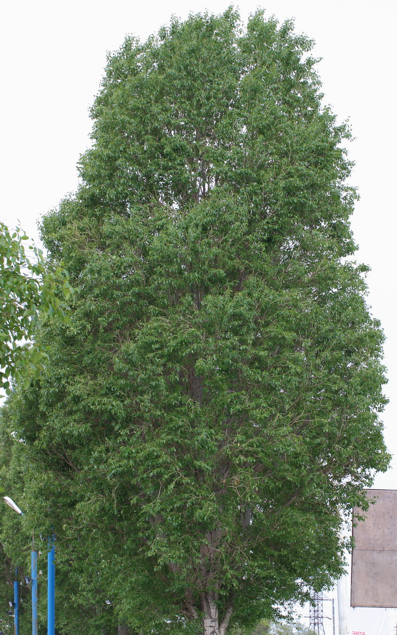 Тополь Симона (Populus simonii)