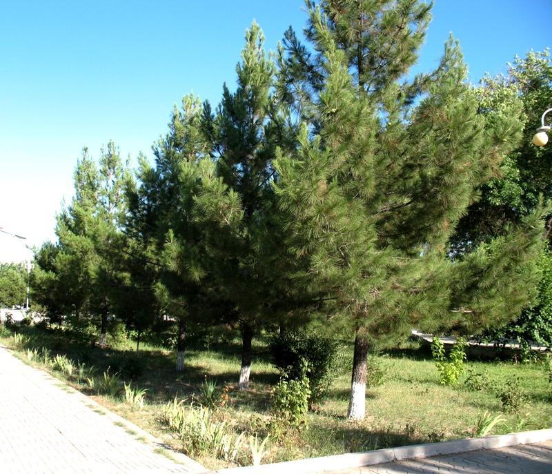 Изображение растения pinus eldarica