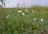 Melandrium astrachanicum