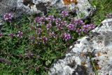 Thymus tauricus