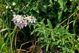 Saponaria officinalis
