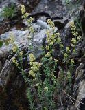 Galium coriaceum