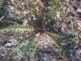 Dryopteris crassirhizoma